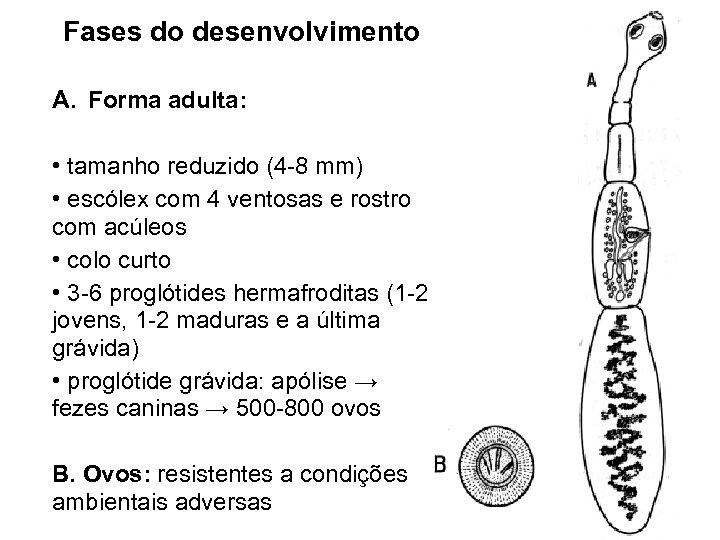 Fases do desenvolvimento A. Forma adulta: • tamanho reduzido (4 -8 mm) • escólex
