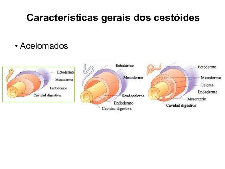 Características gerais dos cestóides • Acelomados