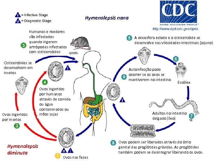 Hymenolepsis nana Humanos e roedores são infectados quando ingerem artrópodes infectados com cisticercóides Cisticercóides