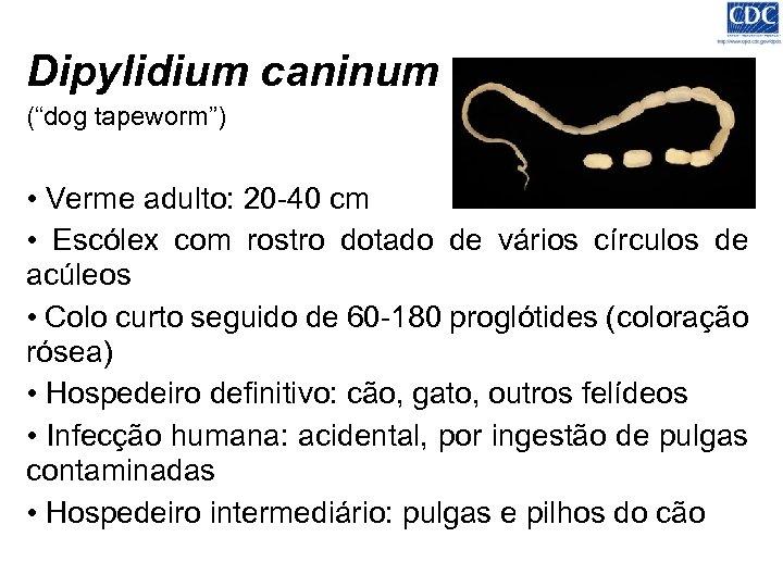 """Dipylidium caninum (""""dog tapeworm"""") • Verme adulto: 20 -40 cm • Escólex com rostro"""