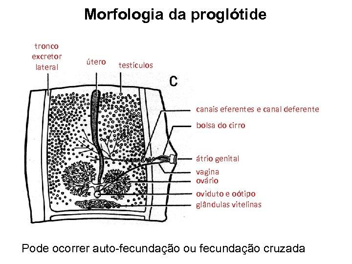 Morfologia da proglótide tronco excretor lateral útero testículos canais eferentes e canal deferente bolsa
