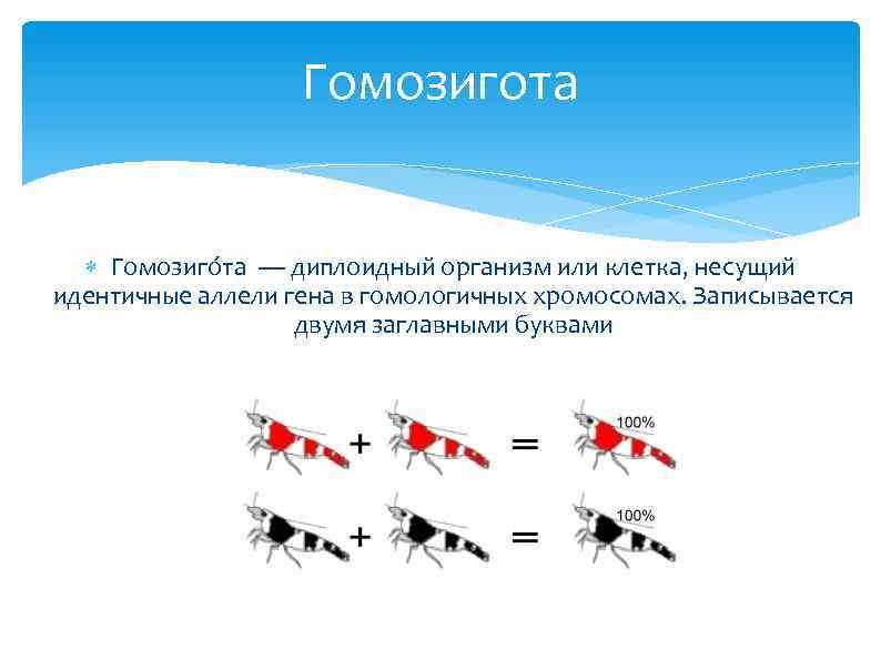 Гомозигота Гомозиго та — диплоидный организм или клетка, несущий идентичные аллели гена в гомологичных