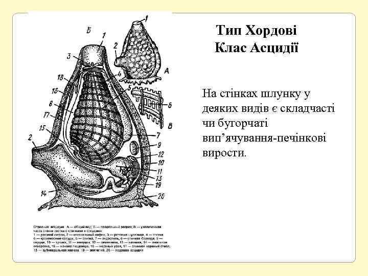 Тип Хордові Клас Асцидії На стінках шлунку у деяких видів є складчасті чи бугорчаті