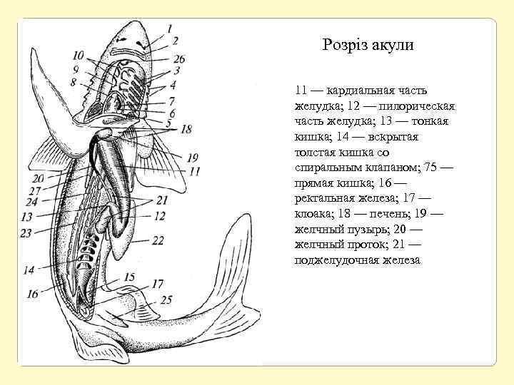 Розріз акули 11 — кардиальная часть желудка; 12 — пилорическая часть желудка; 13 —