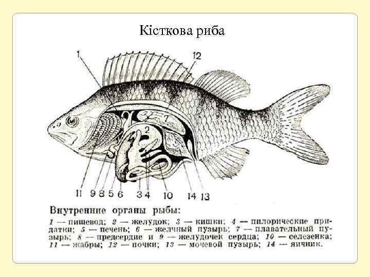Кісткова риба