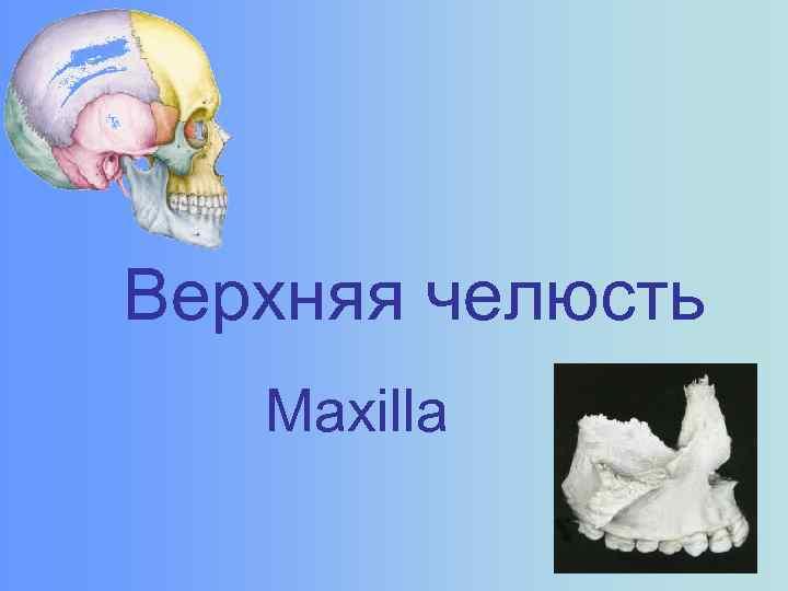 Верхняя челюсть Maxilla