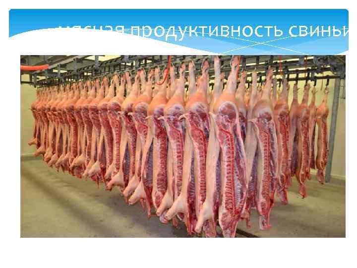 мясная продуктивность свиньи