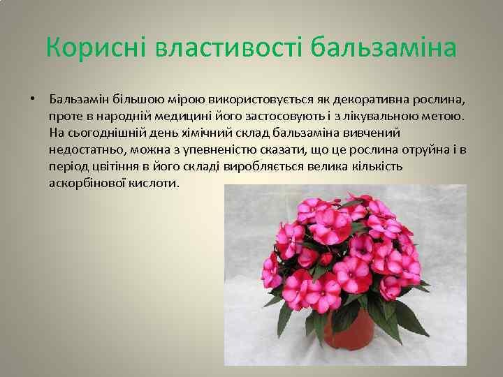 Корисні властивості бальзаміна • Бальзамін більшою мірою використовується як декоративна рослина, проте в народній