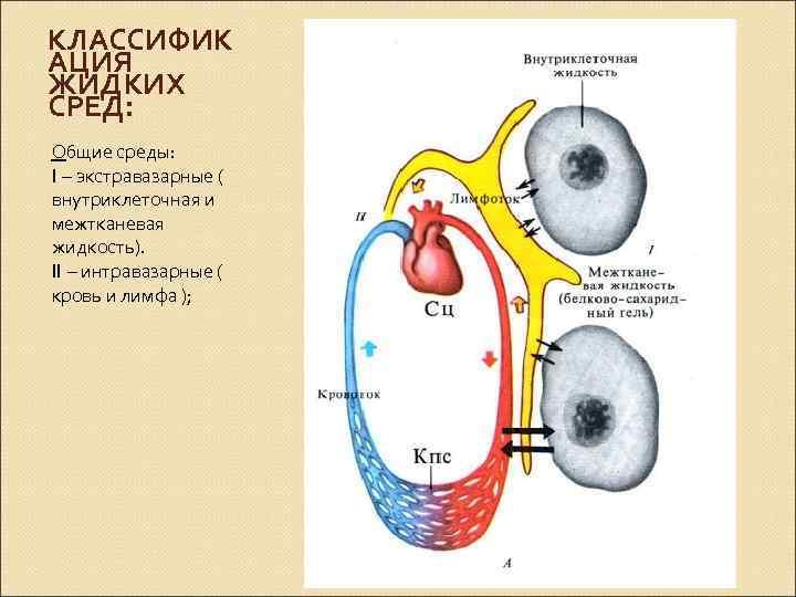 КЛАССИФИК АЦИЯ ЖИДКИХ СРЕД: Общие среды: I – экстравазарные ( внутриклеточная и межтканевая жидкость).