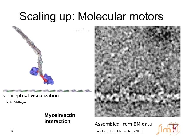 Scaling up: Molecular motors Conceptual visualization R. A. Milligan Myosin/actin interaction 5 Assembled from