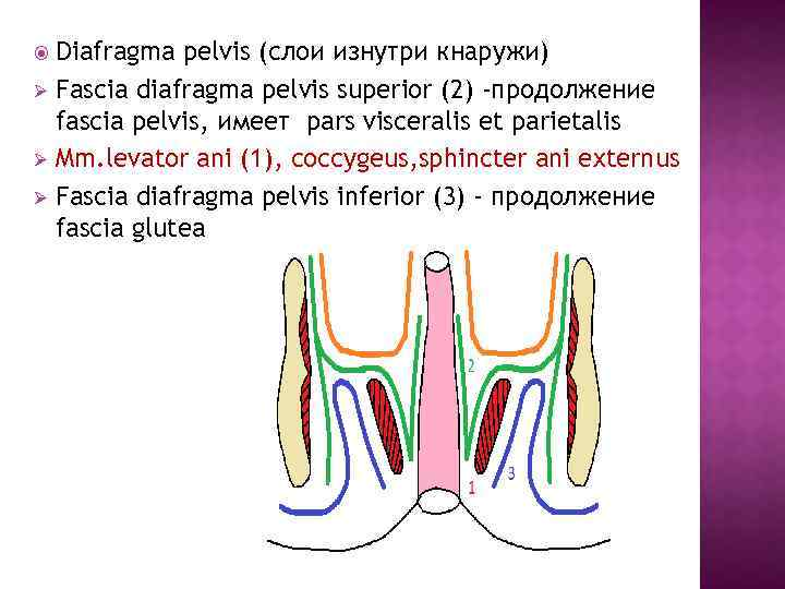 Ø Ø Ø Diafragma pelvis (слои изнутри кнаружи) Fascia diafragma pelvis superior (2)