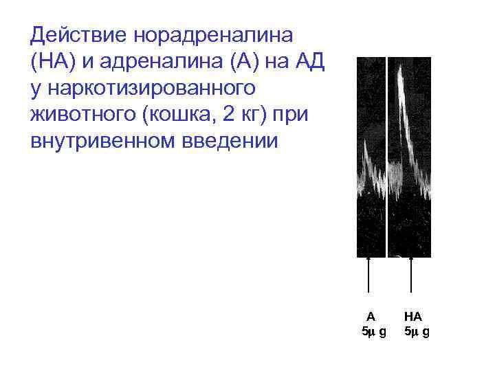 Действие норадреналина (НА) и адреналина (А) на АД у наркотизированного животного (кошка, 2 кг)