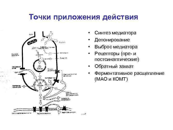 Точки приложения действия • • Синтез медиатора Депонирование Выброс медиатора Рецепторы (пре- и постсинаптические)