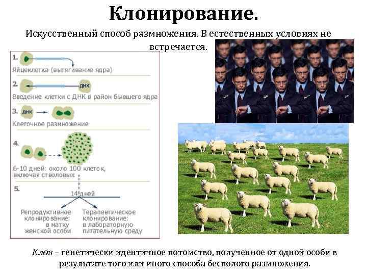 Клонирование. Искусственный способ размножения. В естественных условиях не встречается. Клон – генетически идентичное потомство,
