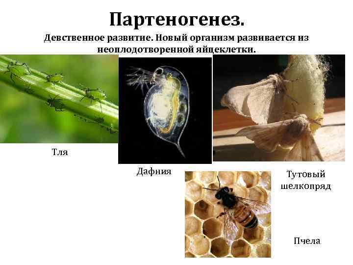 Партеногенез. Девственное развитие. Новый организм развивается из неоплодотворенной яйцеклетки. Тля Дафния Тутовый шелкопряд Пчела