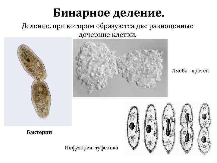 Бинарное деление. Деление, при котором образуются две равноценные дочерние клетки. Амеба - протей Бактерии