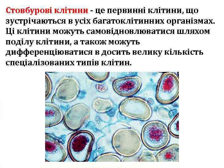 Стовбурові клітини - це первинні клітини, що Стовбурові клітини зустрічаються в усіх багатоклітинних організмах.