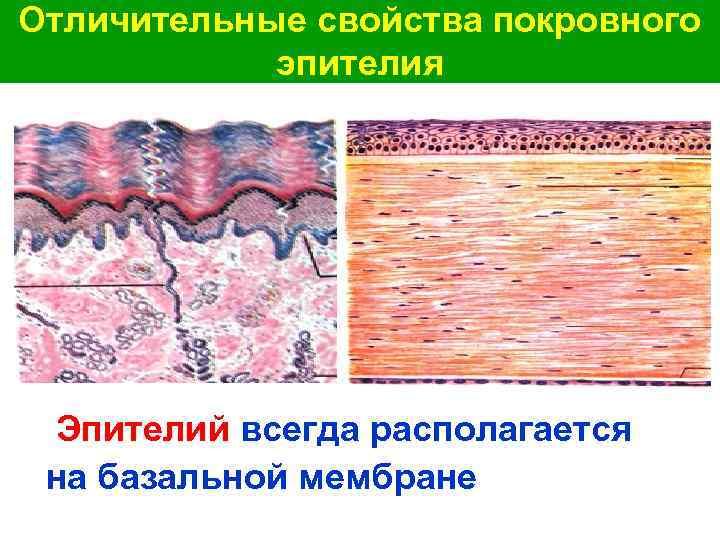 Отличительные свойства покровного эпителия Эпителий всегда располагается на базальной мембране