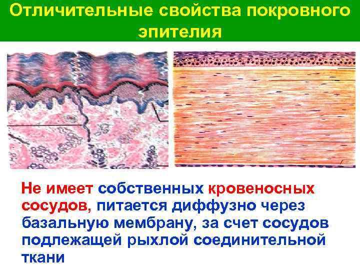 Отличительные свойства покровного эпителия Не имеет собственных кровеносных сосудов, питается диффузно через базальную мембрану,