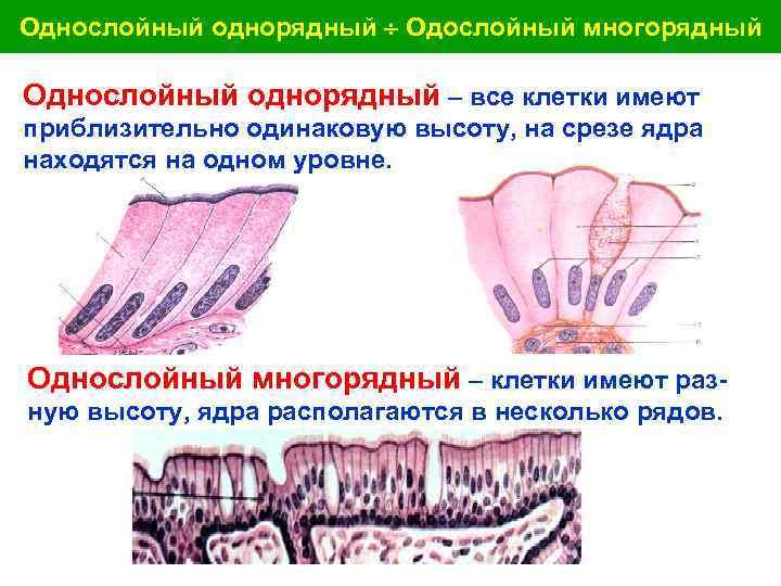 Однослойный однорядный Одослойный многорядный Однослойный однорядный – все клетки имеют приблизительно одинаковую высоту, на