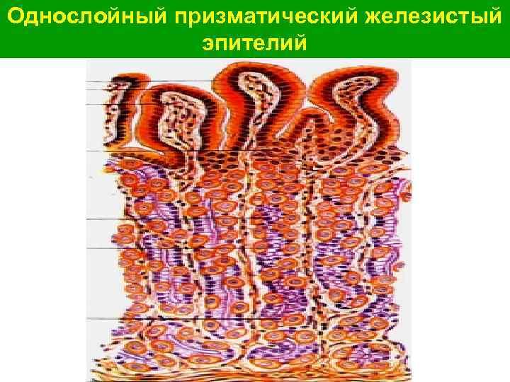Однослойный призматический железистый эпителий