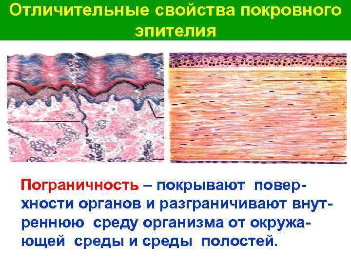 Отличительные свойства покровного эпителия Пограничность – покрывают поверхности органов и разграничивают внутреннюю среду организма