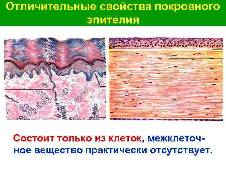 Отличительные свойства покровного эпителия Состоит только из клеток, межклеточное вещество практически отсутствует.