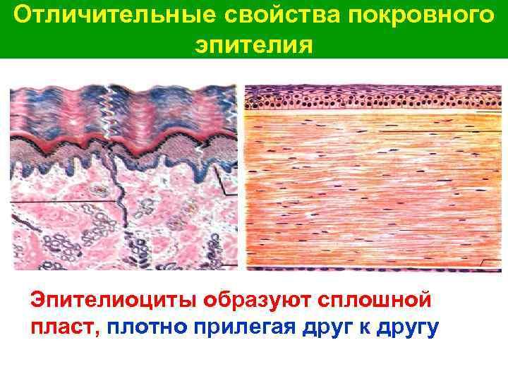 Отличительные свойства покровного эпителия Эпителиоциты образуют сплошной пласт, плотно прилегая друг к другу
