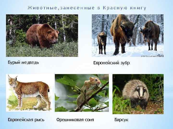 Бурый медведь Европейская рысь Европейский зубр Орешниковая соня Барсук