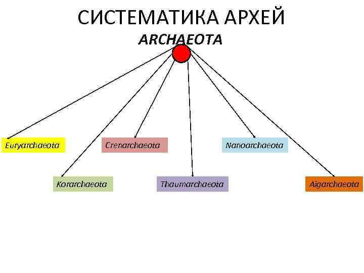 СИСТЕМАТИКА АРХЕЙ ARCHAEOTA Euryarchaeota Crenarchaeota Korarchaeota Nanoarchaeota Thaumarchaeota Aigarchaeota