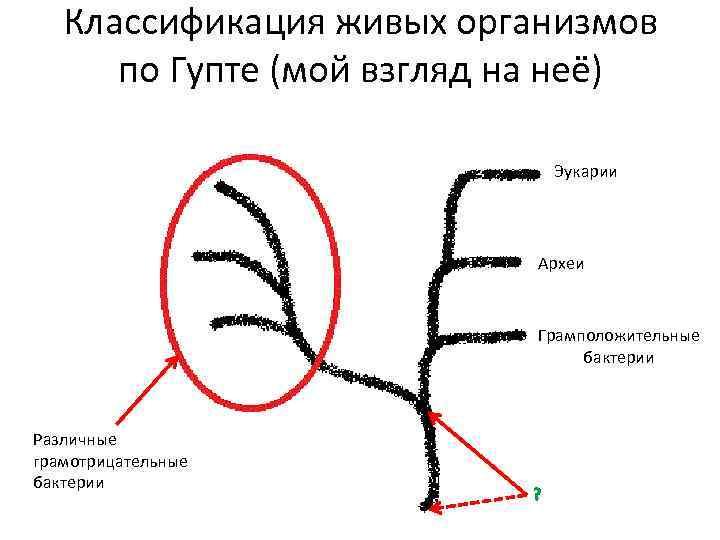 Классификация живых организмов по Гупте (мой взгляд на неё) Эукарии Археи Грамположительные бактерии Различные