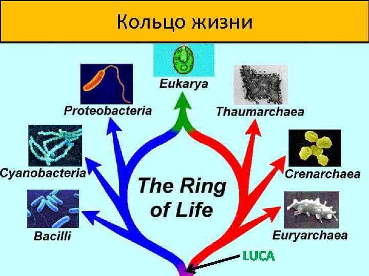 Кольцо жизни LUCA