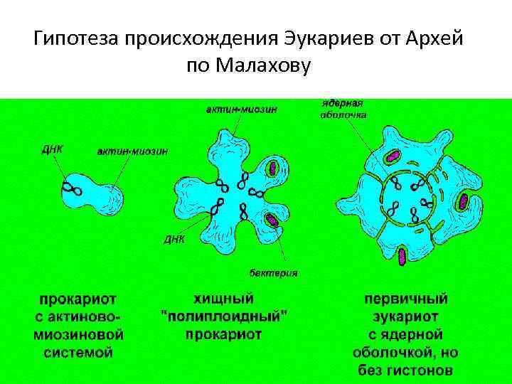 Гипотеза происхождения Эукариев от Архей по Малахову