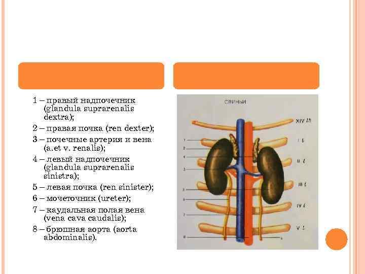 1 – правый надпочечник (glandula suprarenalis dextra); 2 – правая почка (ren dexter); 3