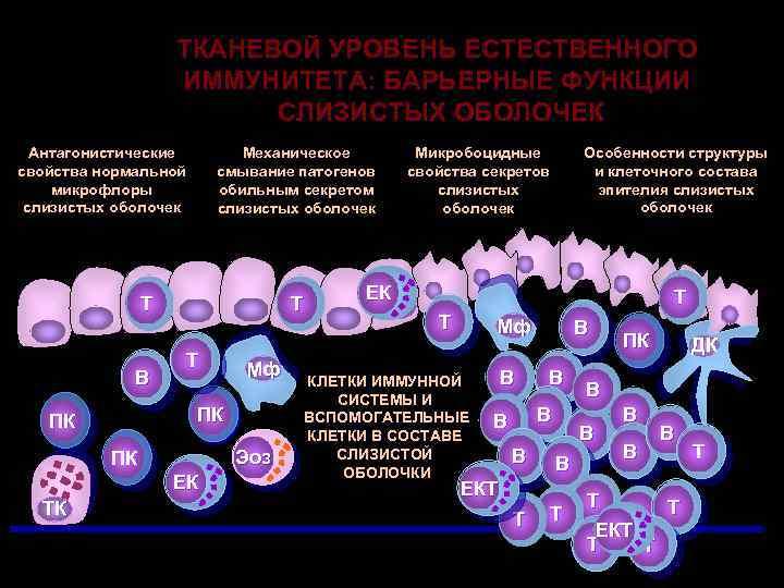 ТКАНЕВОЙ УРОВЕНЬ ЕСТЕСТВЕННОГО ИММУНИТЕТА: БАРЬЕРНЫЕ ФУНКЦИИ СЛИЗИСТЫХ ОБОЛОЧЕК Антагонистические свойства нормальной микрофлоры слизистых оболочек