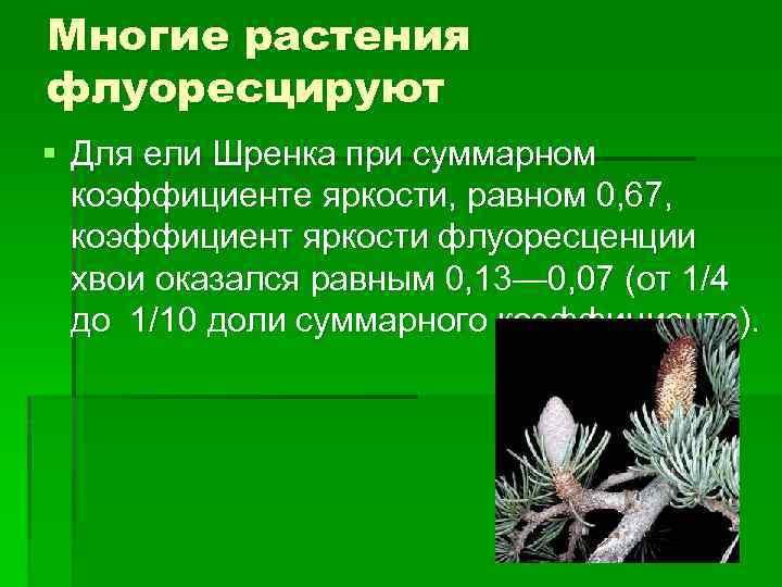 Многие растения флуоресцируют § Для ели Шренка при суммарном коэффициенте яркости, равном 0, 67,