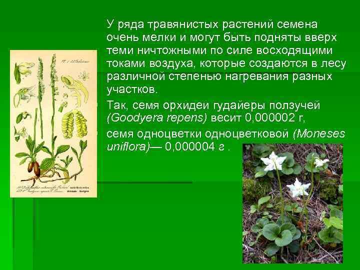 У ряда травянистых растений семена очень мелки и могут быть подняты вверх теми ничтожными