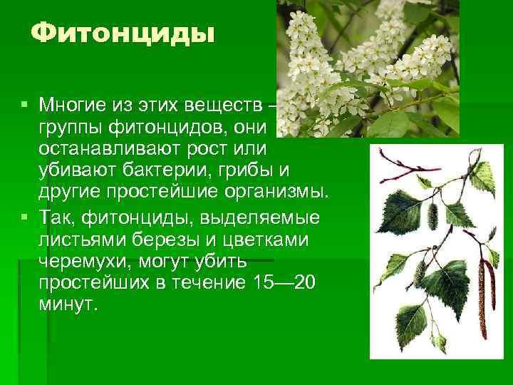 Фитонциды § Многие из этих веществ — из группы фитонцидов, они останавливают рост или
