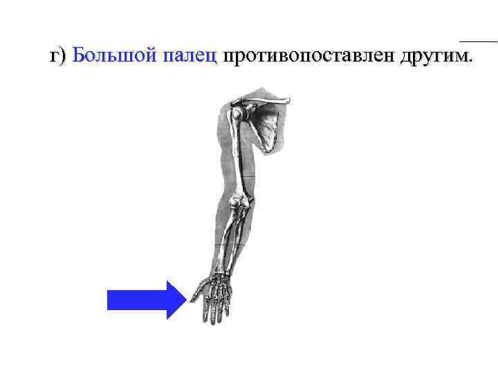 г) Большой палец противопоставлен другим.
