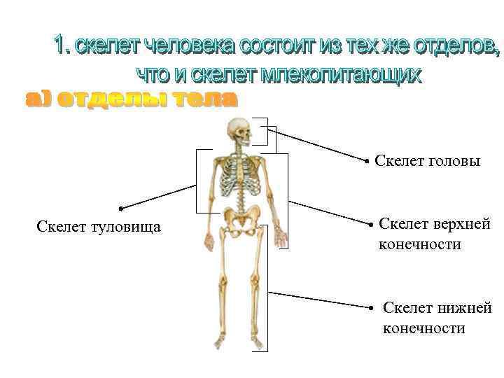 Скелет головы Скелет туловища Скелет верхней конечности Скелет нижней конечности