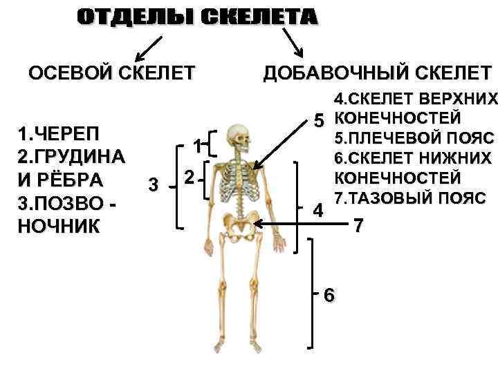 ОСЕВОЙ СКЕЛЕТ 1. ЧЕРЕП 2. ГРУДИНА И РЁБРА 3. ПОЗВО НОЧНИК 1 3 2