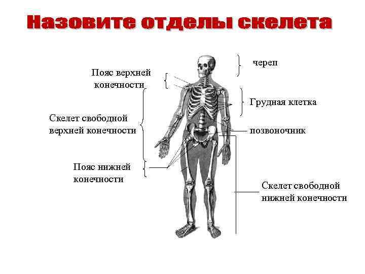 Пояс верхней конечности череп Грудная клетка Скелет свободной верхней конечности Пояс нижней конечности позвоночник