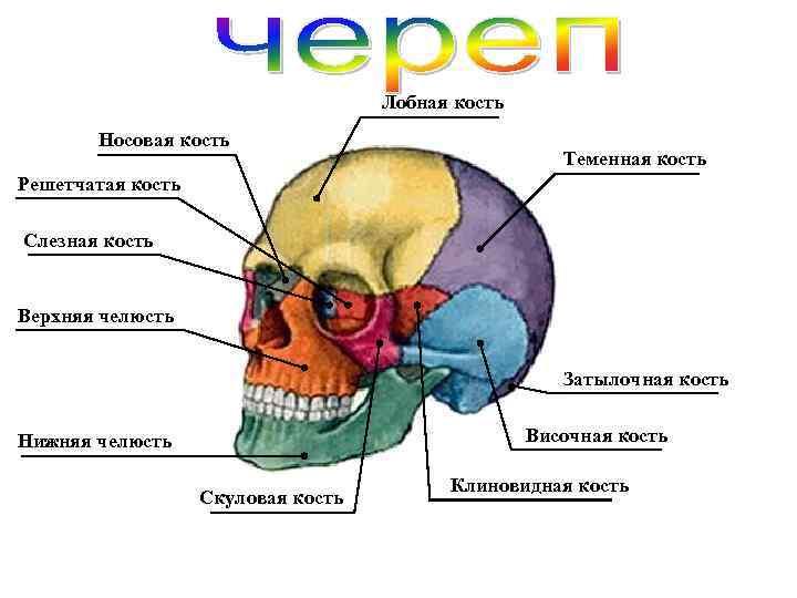 Лобная кость Носовая кость Теменная кость Решетчатая кость Слезная кость Верхняя челюсть Затылочная кость
