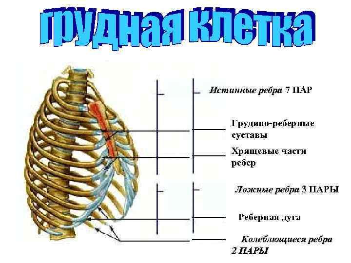 Истинные ребра 7 ПАР Грудино-реберные суставы Хрящевые части ребер Ложные ребра 3 ПАРЫ Реберная