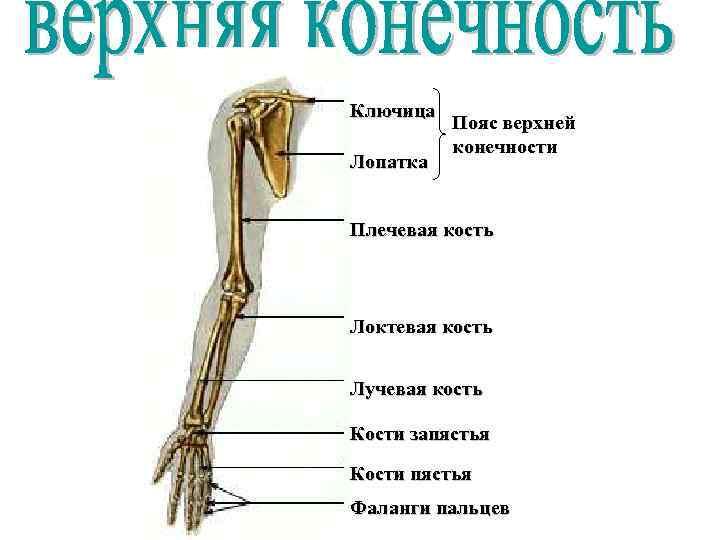 Ключица Лопатка Пояс верхней конечности Плечевая кость Локтевая кость Лучевая кость Кости запястья Кости