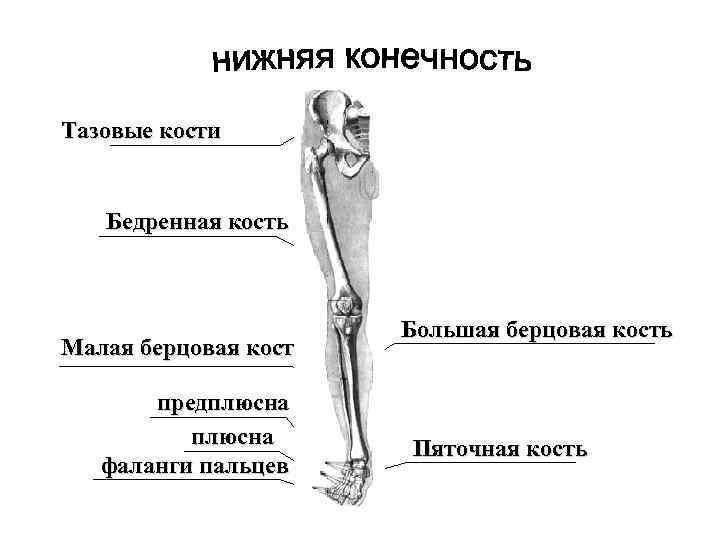 Тазовые кости Бедренная кость Малая берцовая кость предплюсна фаланги пальцев Большая берцовая кость Пяточная