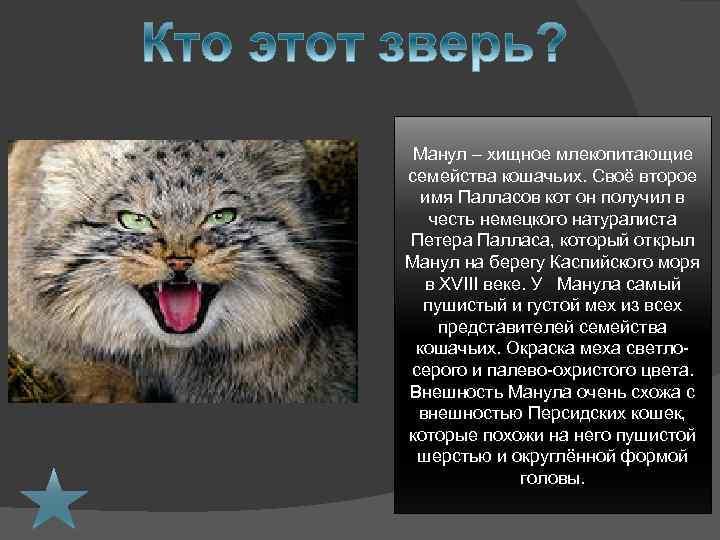 Манул – хищное млекопитающие семейства кошачьих. Своё второе имя Палласов кот он получил в