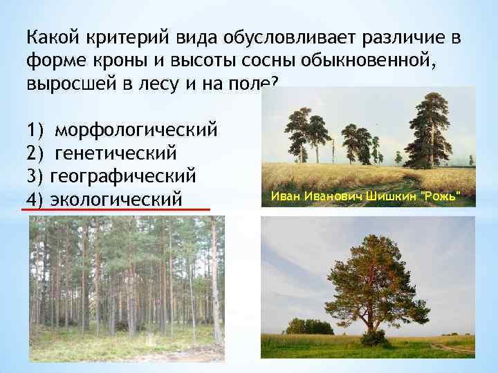 Какой критерий вида обусловливает различие в форме кроны и высоты сосны обыкновенной, выросшей в