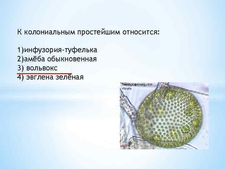 К колониальным простейшим относится: 1)инфузория-туфелька 2)амёба обыкновенная 3) вольвокс 4) эвглена зелёная