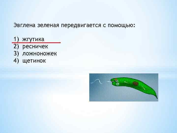 Эвглена зеленая передвигается с помощью: 1) 2) 3) 4) жгутика ресничек ложноножек щетинок